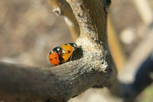 Ladybug season