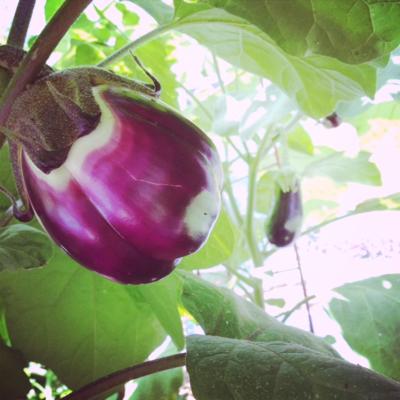 Eggplant party